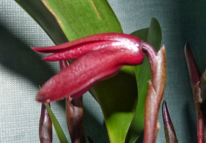 Maxillaria calantha P1370055