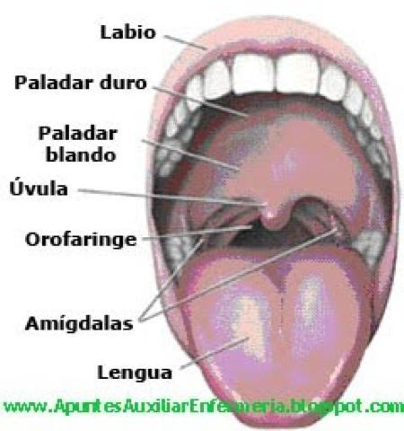 Anatomía: Partes de la Boca