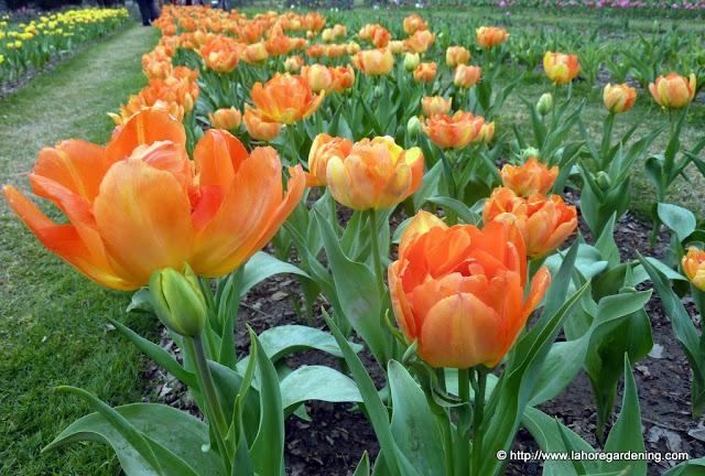 tulipa monte