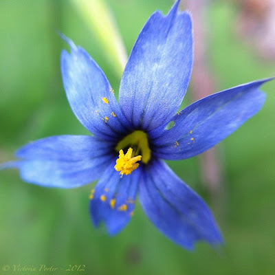 blue-eyed grass macro
