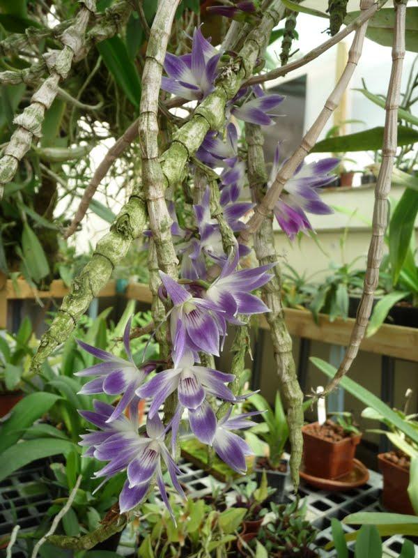 Dendrobium victoriae-reginae P1170180