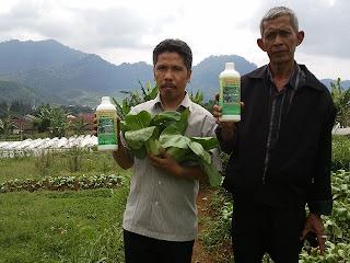 Panen Raya Sawi Pakchoy dengan Pupuk Organik Poin Duatani