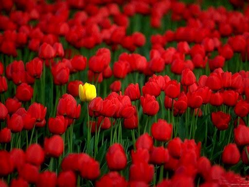 Rode_Tulpen.jpg