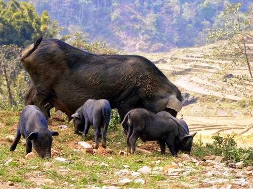 """33 Đặc sản lợn """"cắp nách"""" Mộc Châu"""