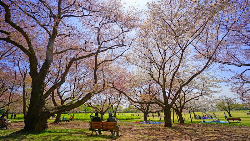 昭和記念公園 桜 写真21