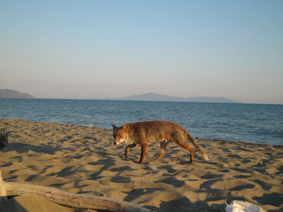 Fox looking for a snack at Maremma national park beach