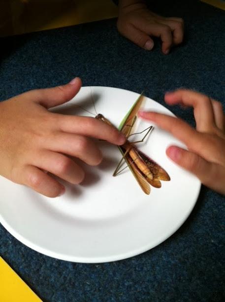 praying mantis bite