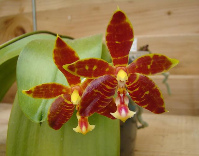 Phalaenopsis Mambo DSC09058%25281%2529