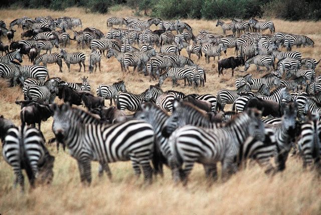 Началась великая миграция из Серенгети в Масаи-Мара