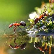 К чему снятся рыжие муравьи?