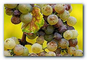 серая гниль винограда.jpg
