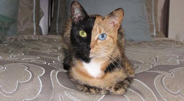 Venus, Kucing Dengan Wajah Belang Simetris