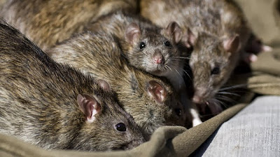 Rats on a plane? No problem, say Chinese authorities