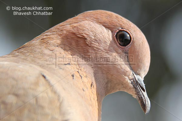 Ultimate close-up of a Laughing Dove [Stigmatopelia senegalensis] - Little Brown Dove