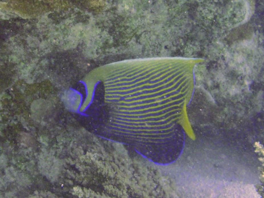 Pomacanthus imperator (Emperor Angelfish), Aitutaki.