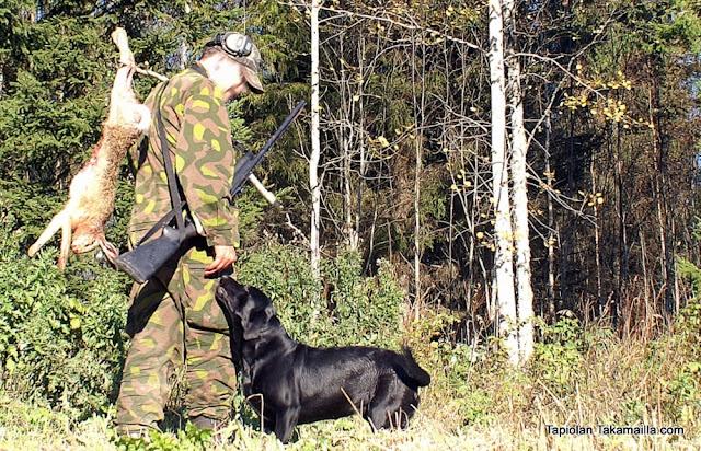 labradorinnoutaja rusakko jänisjahti metsästäjä