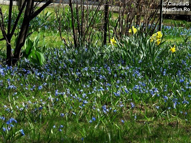 flori albastre de primavara