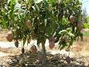 تقليم اشجار المانجو