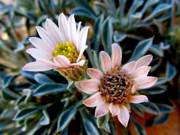 Sunflower family, probably Townsendia incana (Easter Daisy)