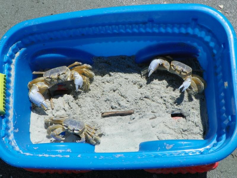 Pinchey, my sand crab 102_0210