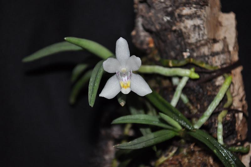 Ptecoceras semiteretifolia DSC_0003