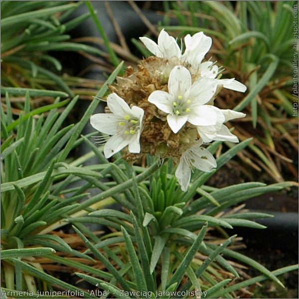 Armeria juniperifolia 'Alba' inflorescence and leaves - Zawciąg jałowcolistny kwiatostan i liście
