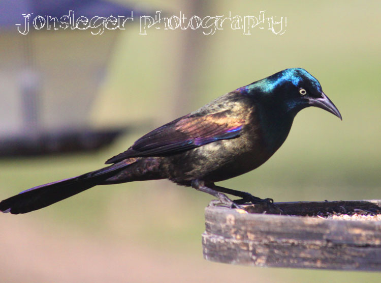 common grackle. A Common Grackle at my
