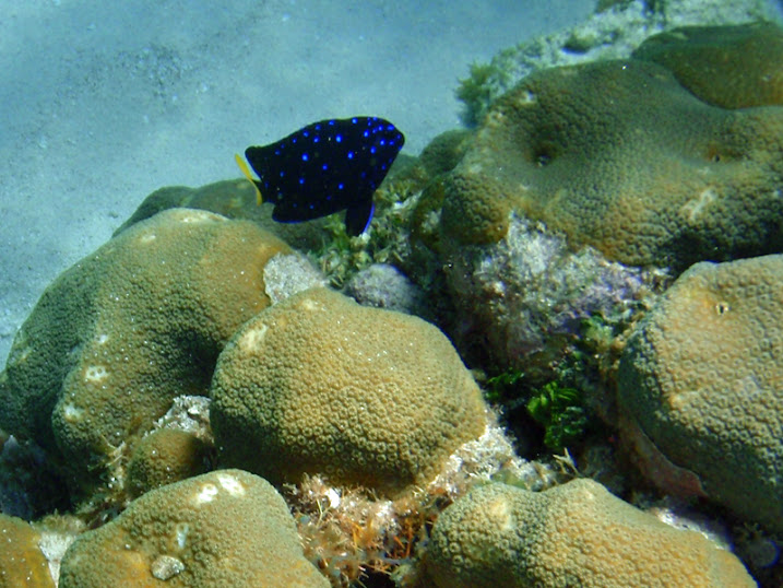 Microspathodon chrysurus (Juvenile Yellow-tail Jewel Damselfish) near Tranquility Bay Resort