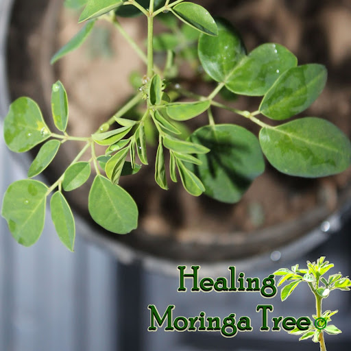 Research on Moringa: Cure & Prevent 300 illnesses