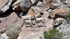 Bighorn Sheep - Anza Borrego