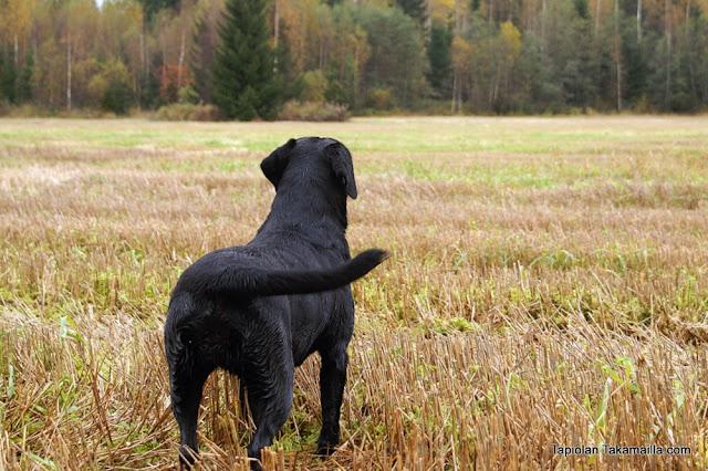 labradorinnoutaja peltojahti rusakkojahti jänisjahti