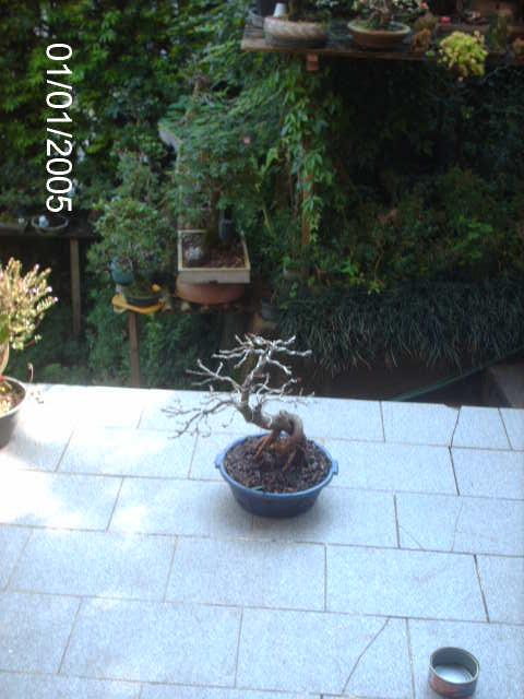 Ficus Nerifolia, Uma raiz de 3 anos... PICT0978