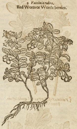 Lingonberry, Gerard's Herbal