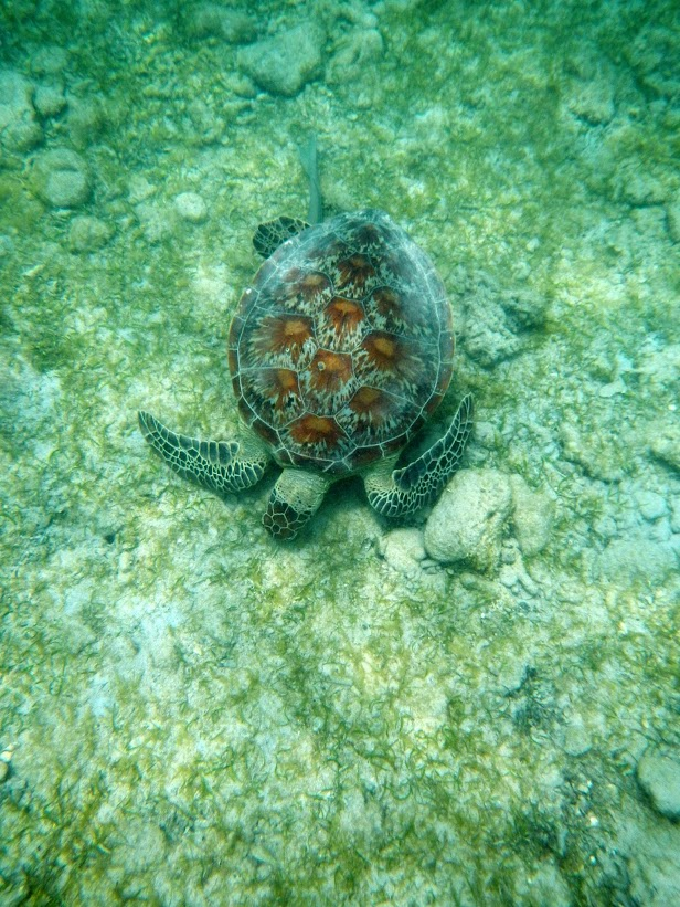Tortues marines à Mayotte DSCN1166