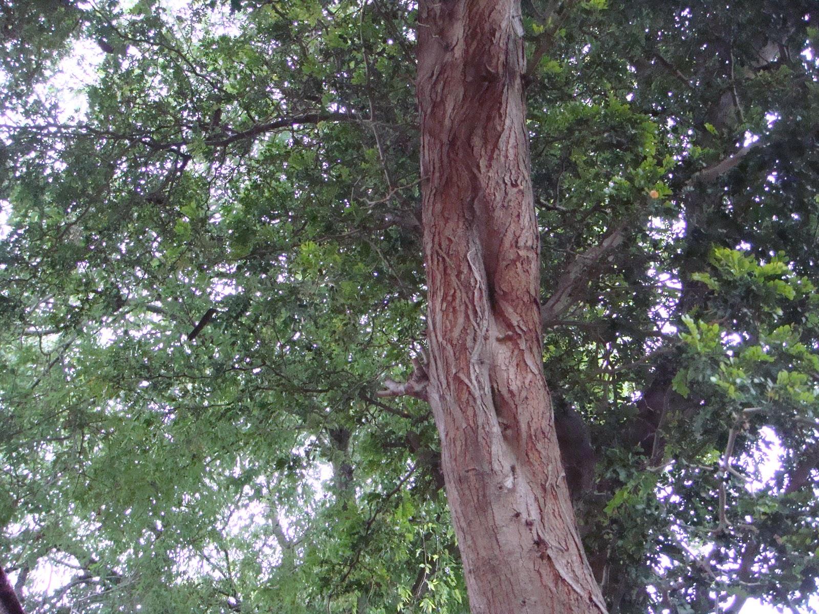 Cedar Tree Varieties ~ The gallery for gt types of cedar trees landscaping