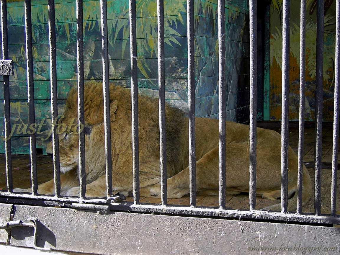 Король-лев тоже в клетке зоопарка фото