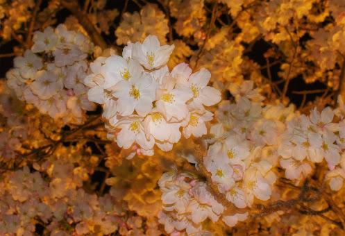 神戸 須磨浦公園の夜桜ライトアップ 桜のアップ