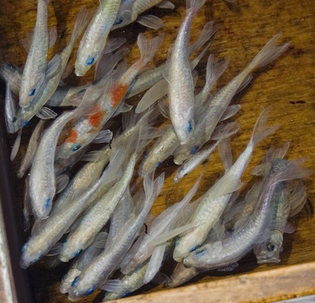 goldfish resin 3d Riusuke Fukahori 11
