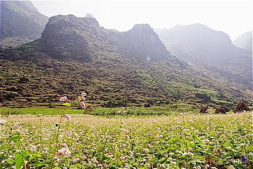 Hoa tam giac mach tai cac dia diem o ha giang6 Hoa tam giác mạch tại một số nơi ở Hà Giang