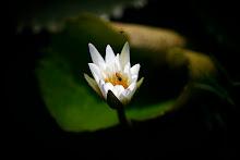 Abejas polinizan una flor de jacinto