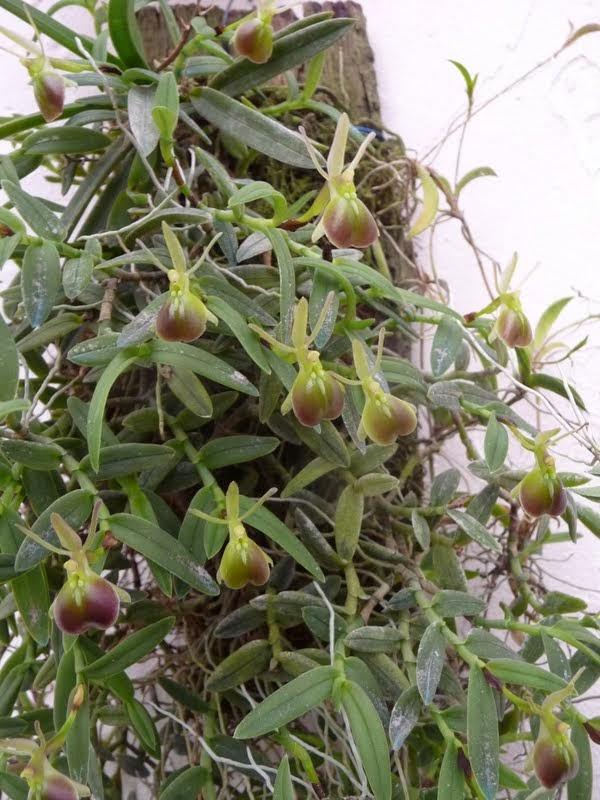 Epidendrum porpax P1180744