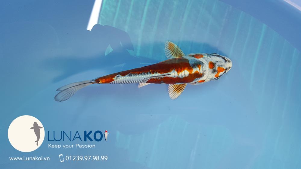 Cá Koi Đồng Tháp