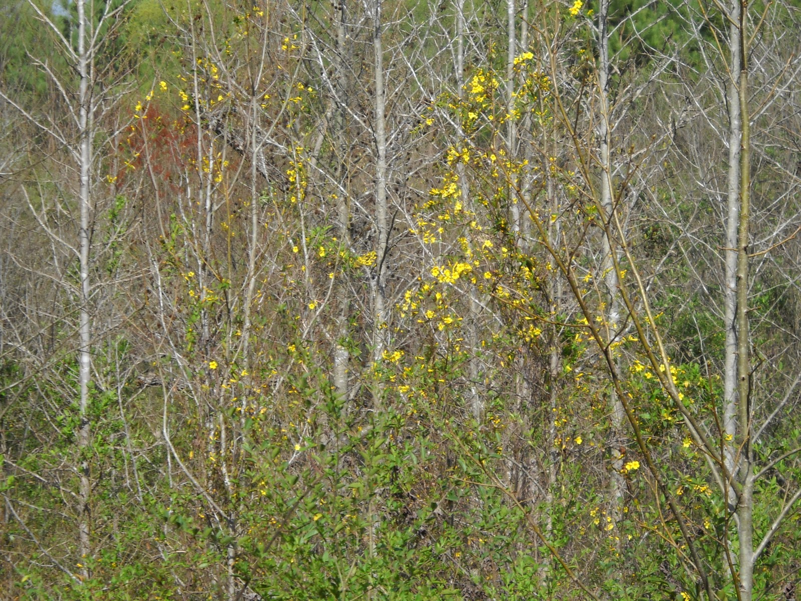Gold hill plant farm the difference between carolina jessamine and the above is a picture of carolina jessamine it is blooming now marchapril and can be seen gracing the tops of trees as you drive izmirmasajfo