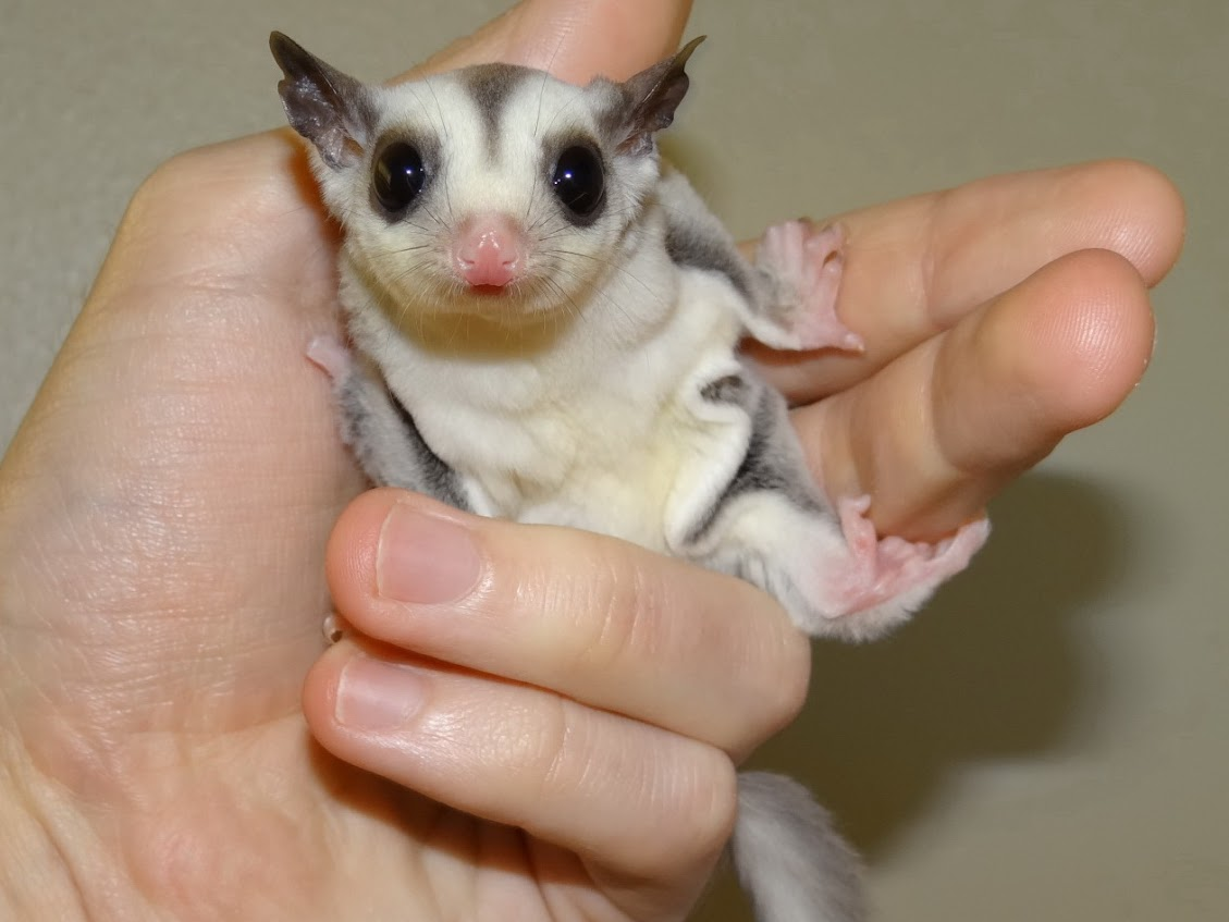 Trixie - Female Platinum Sugar Glider