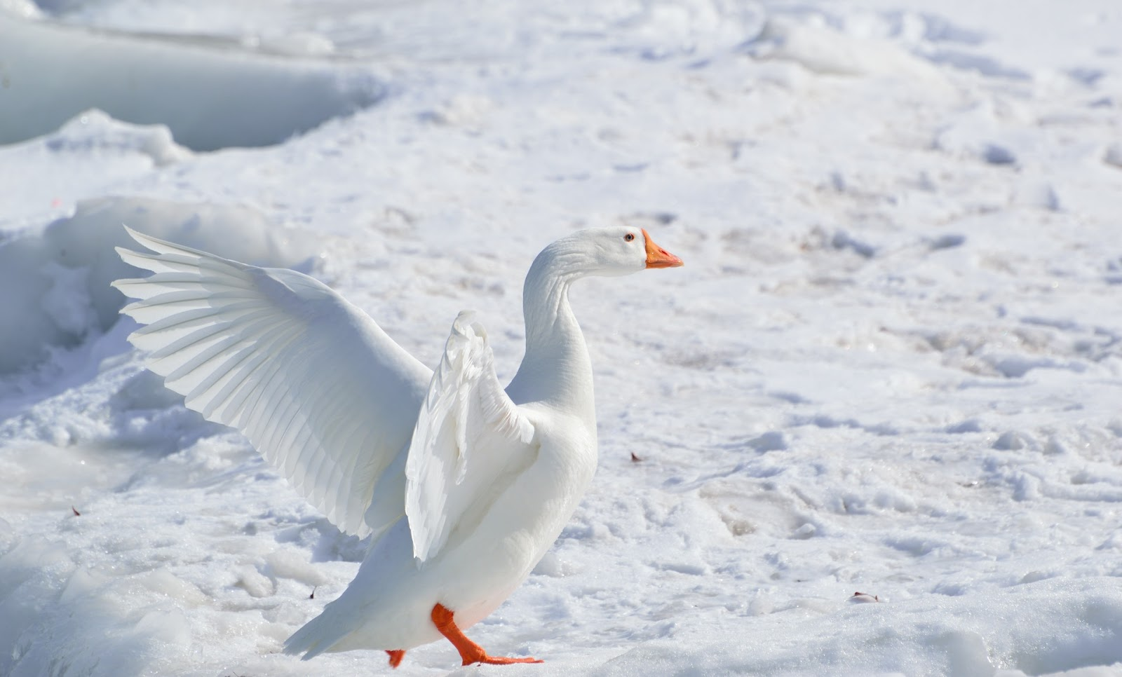 This is a photo of a white goose.  Badminton shuttlecocks are made with the feathers of a goose's left wing.