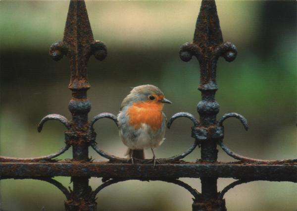 robin perched on metal railings