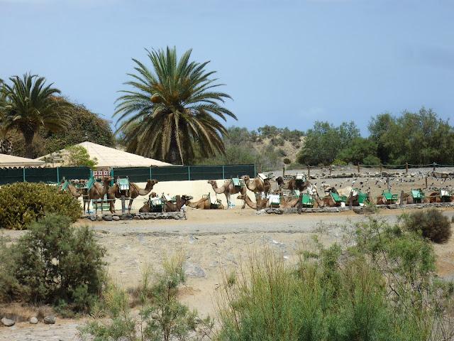 Kamelfarm bei Maspalomas