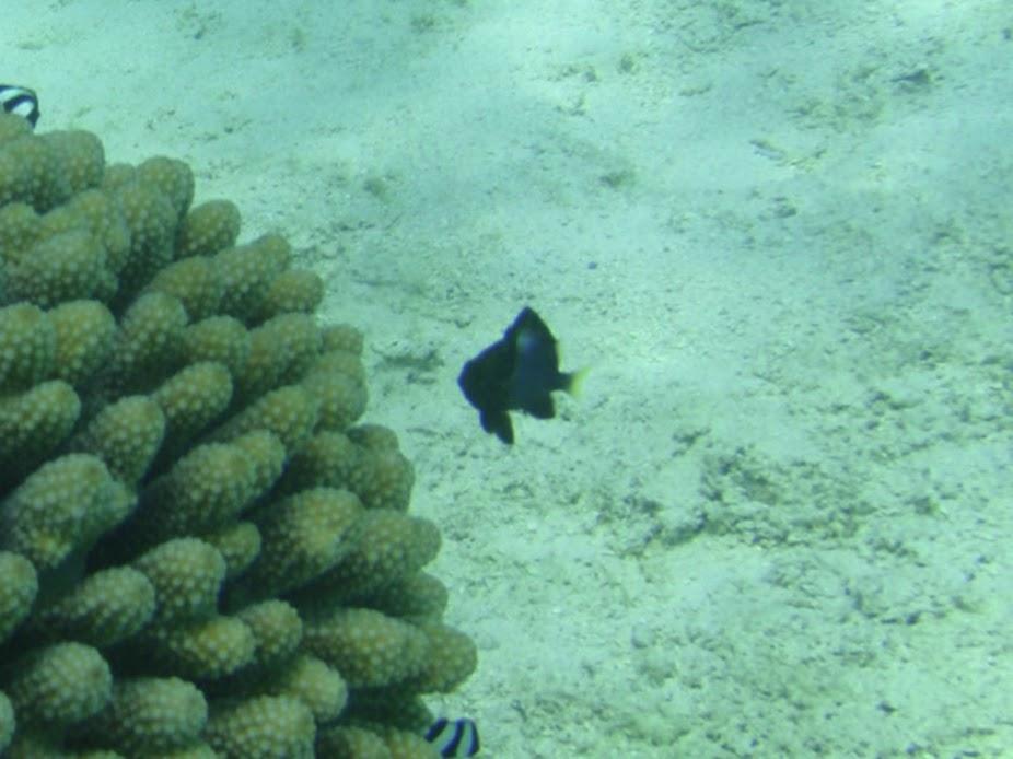 Dascyllus flavicaudus (Yellow-tailed Dascyllus Damselfish), Rarotonga.