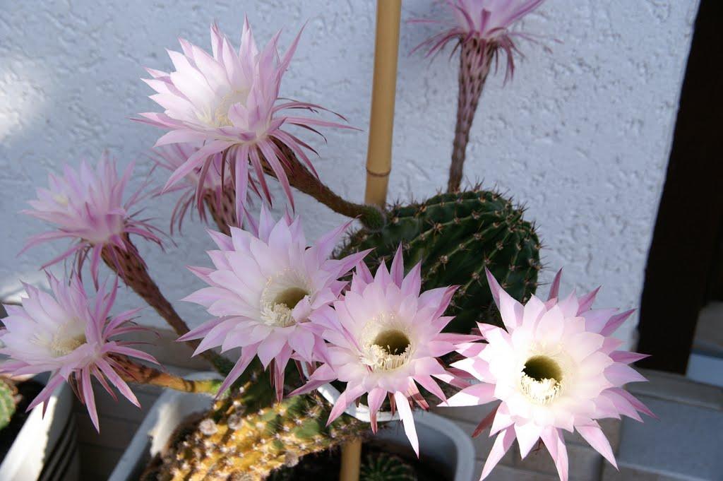kaktus richtig einpflanzen kakteen pflanzen sukkulenten sukkulenten richtig pflanzen und. Black Bedroom Furniture Sets. Home Design Ideas