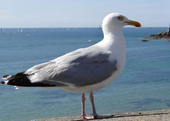 1577.jpg - Les oiseaux � Saint-Malo par Bretagne-web.fr